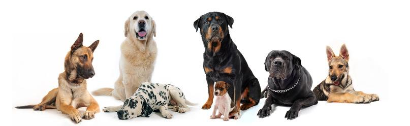 hundehvalpe og hunde med hvid baggrund